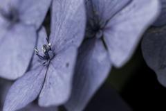 大人紫陽花