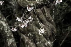 ネジネジ桜