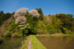 最後に咲いた山桜