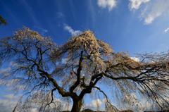 極楽寺の垂れ桜2