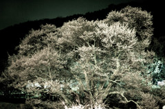 奈良県で一番古い桜です。
