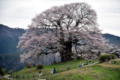 桜を愛でる。