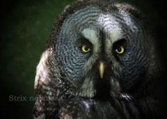 カラフトフクロウ:Great Grey Owl