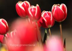 チューリップ:tulip