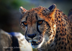 チーター:Cheetah