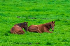横たわる馬