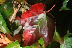 陽のしたの紅葉