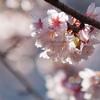 河津桜 その3
