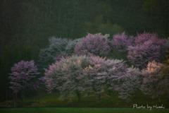 湖面の桜2