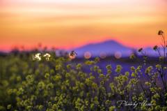 菜の花と夕焼け