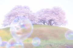 シャボン玉と満開桜