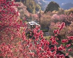 桃の花の咲くころ