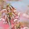 桜archives2012:新種の桜七分咲き