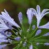 路傍の花たち2015:し・ず・く・紫君子蘭