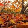 唐紅の綾錦2014s:紅葉の絨毯
