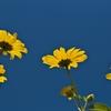 路傍の花たち2015:青と黄色