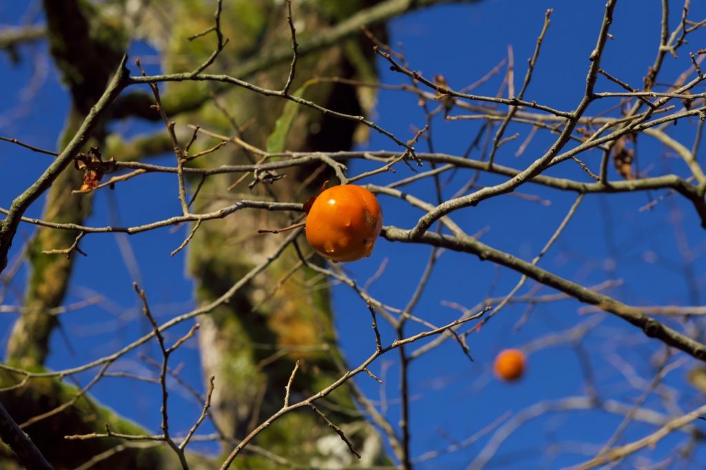 路傍の花たち2015:柿の実ひとつ
