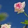 路傍の花たち2015:梅雨明け前_夏の薔薇