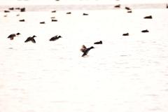 福島潟 着水