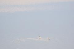 阿賀野川 河岸の白鳥