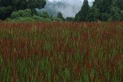 色づく赤米田