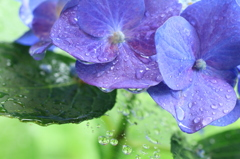 雨の日のあじさい