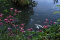 シュウメイキクの咲く池