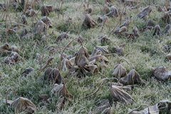 冬の華 蓮