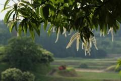 栗の花の咲くころ