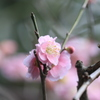 可愛いピンクの梅