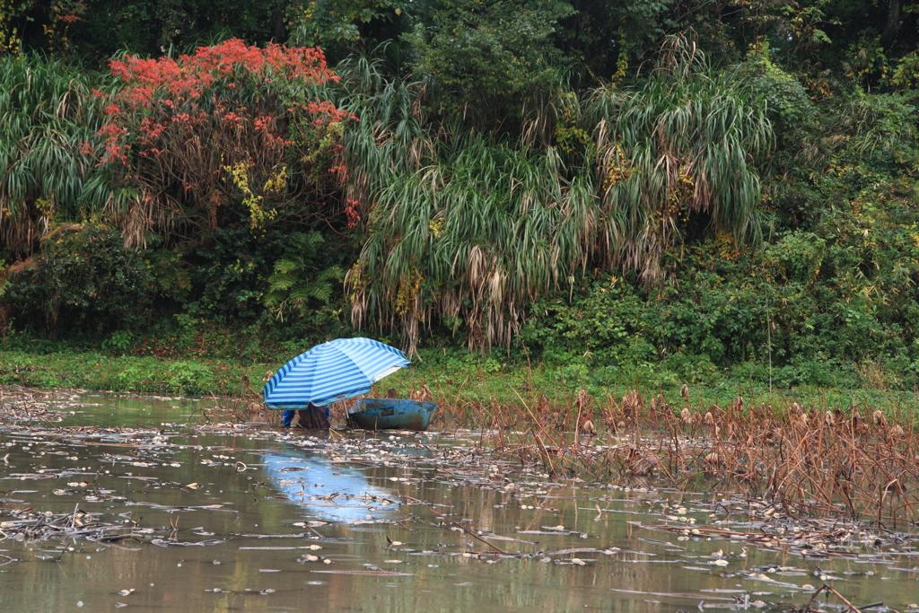 雨の日の蓮根畑