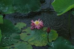 雨にうたれて咲く