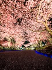 見上げれば桜色