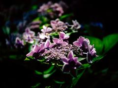 紫陽花グル