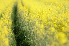 黄色の小径