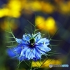 love in a mist 3
