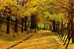 銀杏黄葉の路