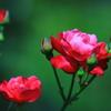 薔薇の優しさ