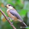 ヤマガラ(幼鳥)