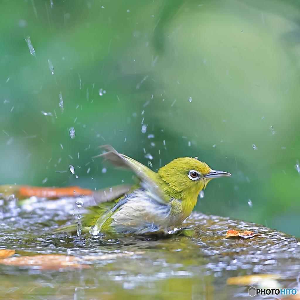 水浴び(メジロ)