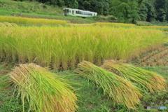 収穫 飯山線