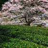 竹原の薄墨桜