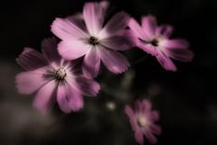 咲きたてコスモス
