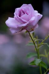 須磨離宮公園 バイオレットの薔薇