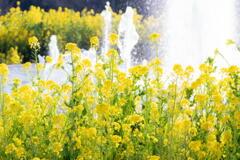 兵庫県立フラワーセンター 菜の花と噴水