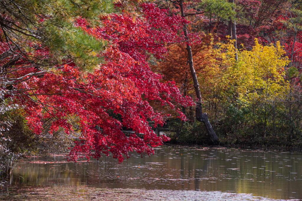 神戸市立森林植物園 長谷池湖畔の色付き