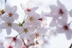 桜と語る ー 春爛漫 ー