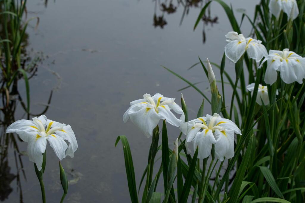 須磨離宮公園 水辺の花菖蒲 その3