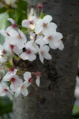 桜咲く 第三章