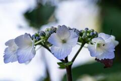 神戸市立森林植物園 紫陽花 その2